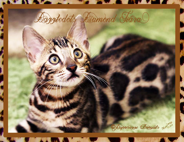 Dazzledots Diamond Tiara ~ Photo provided by Mara Image of Dazzledots Bengals